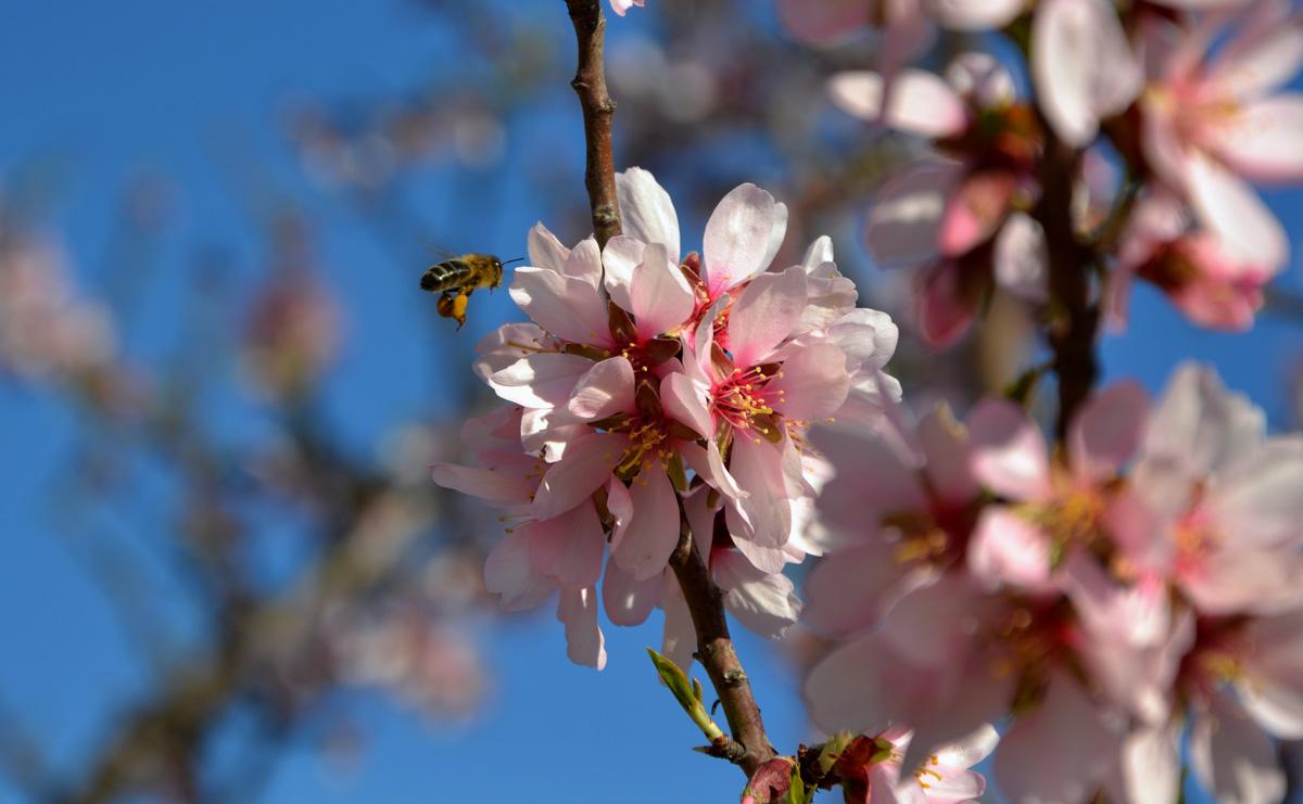 Abella i flor d'ametller
