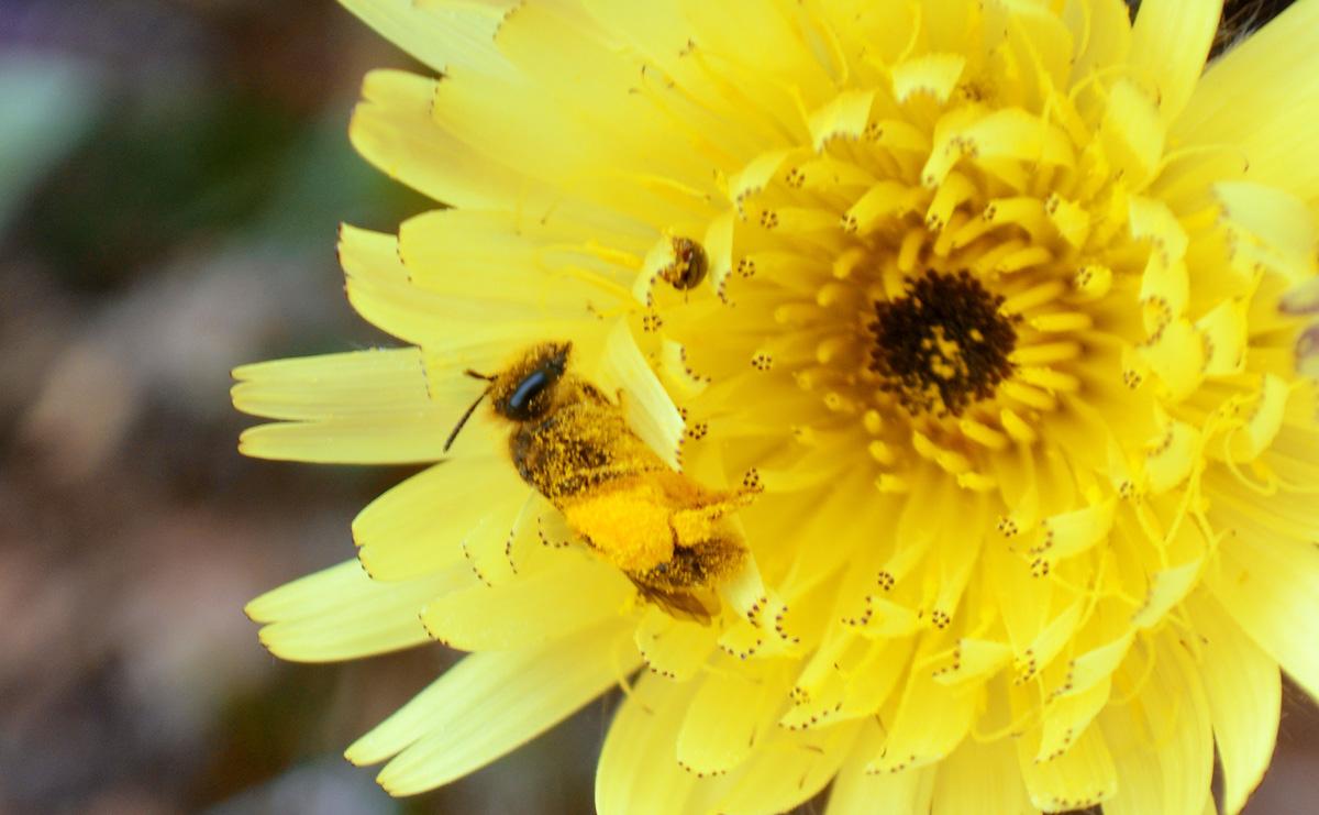 Abella de la mel coberta de pol·len