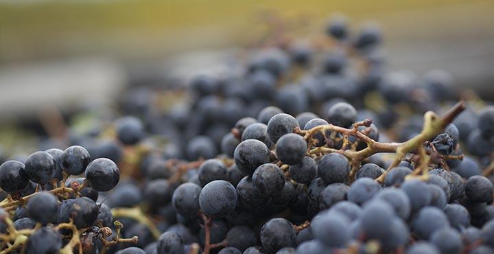La uva cabernet franc