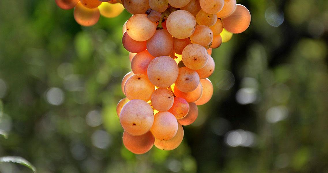 La uva parellada