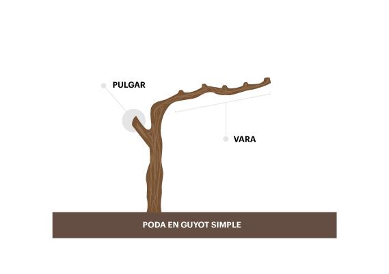 Poda en guyot simple