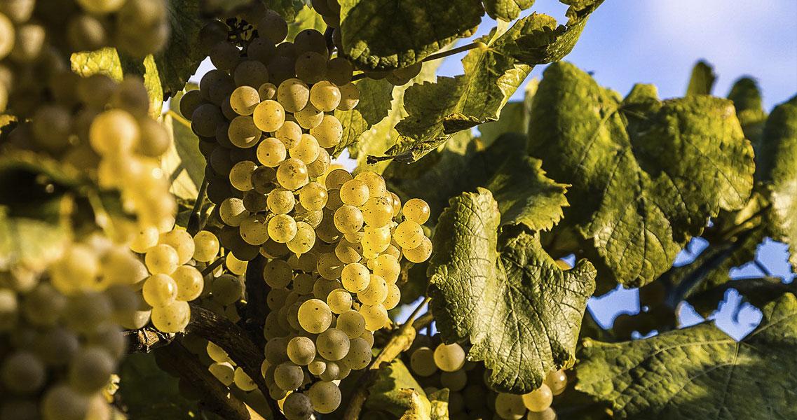 La uva albariño