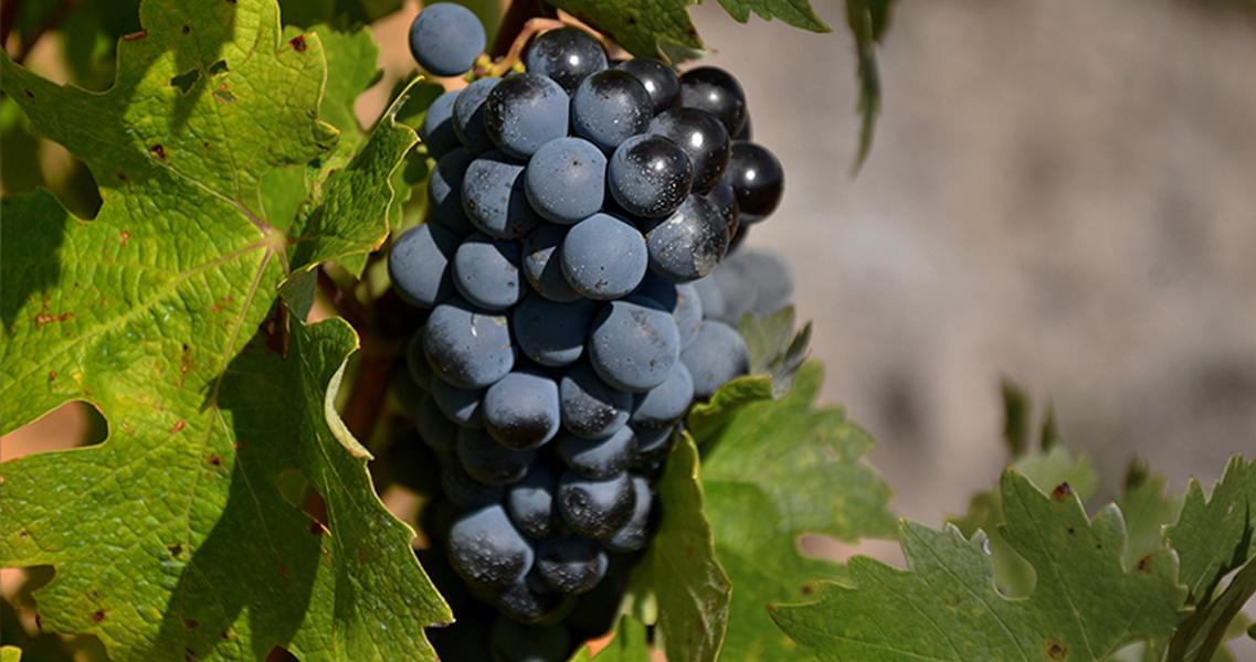 La uva cabernet sauvignonc