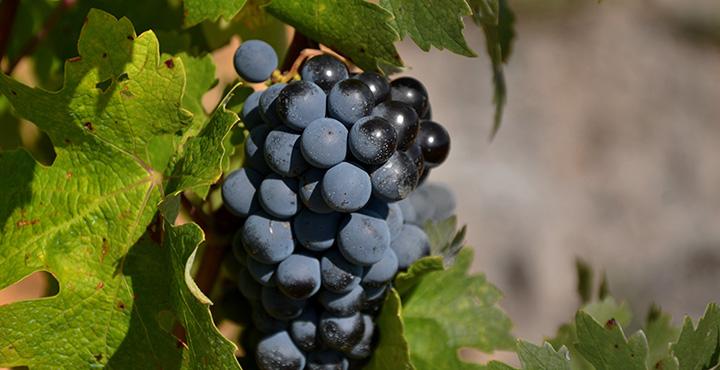 La uva cabernet sauvignon