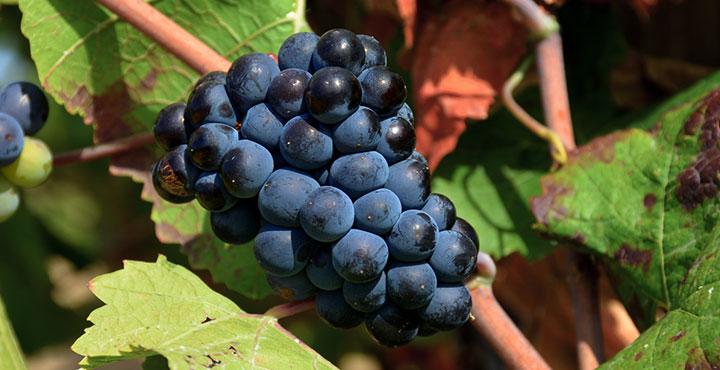 La uva pinot noir