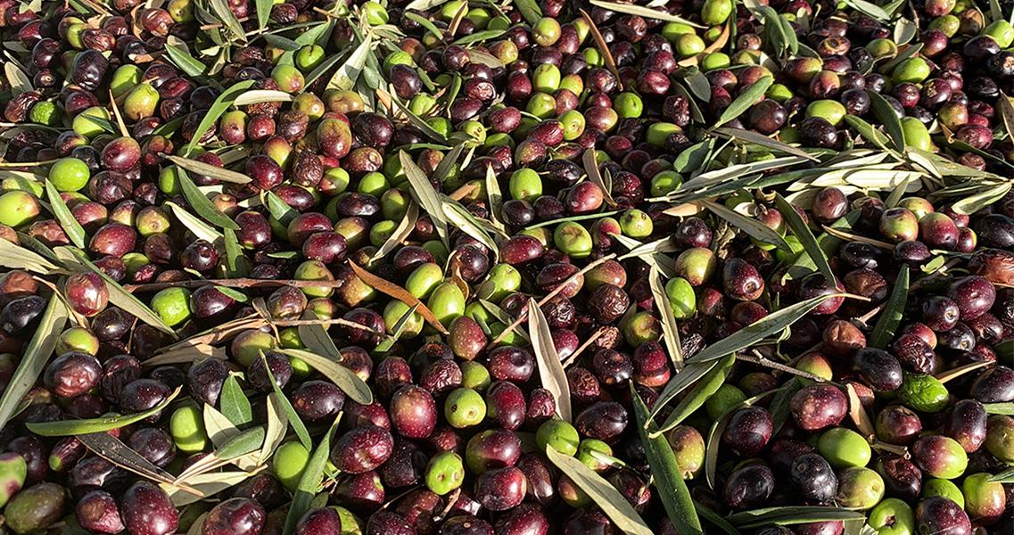 Olives arbequines acabades de collir