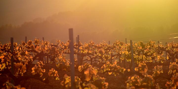 L'elaboració del cava I: la vinya i el raïm