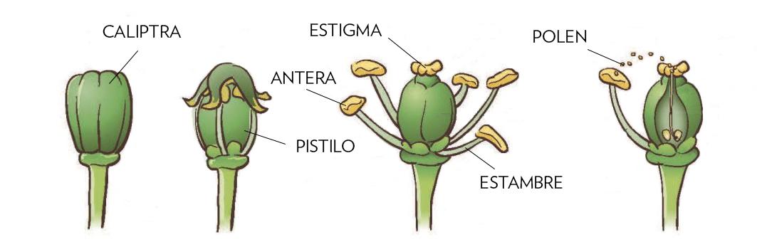 Partes de la flor de la vid
