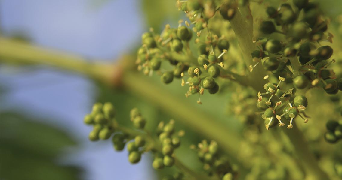La floración de la vid