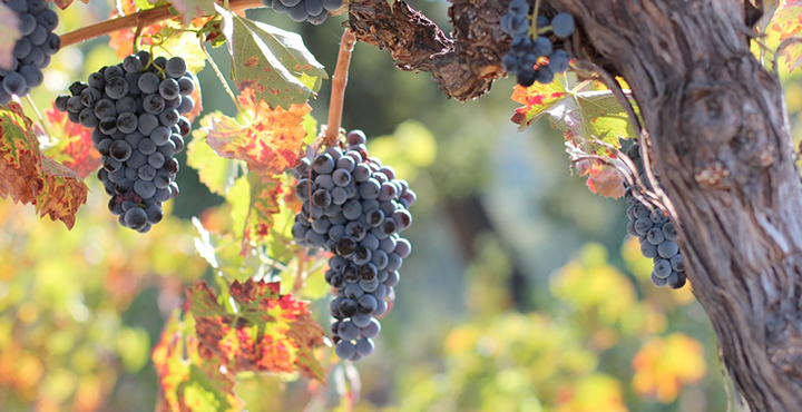 La uva monastrell