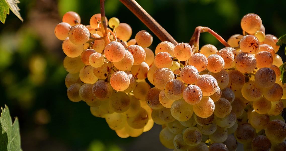 La uva xarel·lo