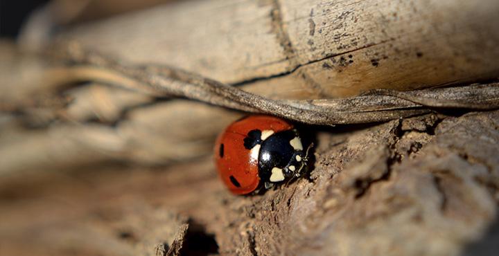 La fauna de la vid: la mariquita